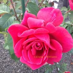 Firefighter Hybrid Tea Rose | The very fragrant 'Firefighter' hybrid tea rose.