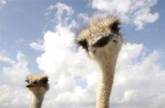 Free range ostrich farm in Belarus