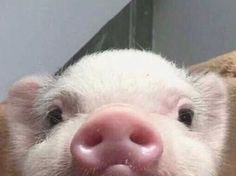 Cute Animal Pictures: 150 Of The Cutest Animals! Cute Baby Pigs, Cute Piglets, Baby Piglets, Cute Little Animals, Cute Funny Animals, Cute Little Things, Little Pigs, Cute Puppies, Cute Dogs