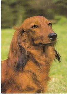 Regal dachshund enjoying the great outdoors! View from the Birdhouse: Dear Abby: Dachshund Postcards