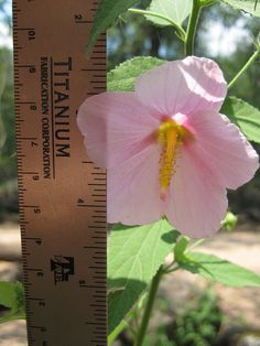 Rose Mallow (hibiscus spp.), particularly Heartleaf Rosemallow [hibiscus martianus] - Edible plant (flowers dried, raw or tea; young leaves raw or cooked; seeds roasted; tender seed pods cooked; roots diced and roasted).