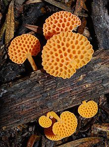 Favolaschia calocera, commonly known as the orange pore fungus, is a species of fungus in the Mycenaceae family, found in Madagascar, New Zealand, Italy and Australia