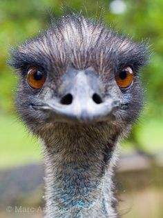 Emus make non-vocal calls including deep rolling grunts and thumping notes which can be audible at up to two kilometres. Listen to Emu sounds here. Types Of Animals, Cute Animals, Fine Art Prints, Canvas Prints, Flightless Bird, Australian Animals, Animal Faces, Portrait, Pet Birds