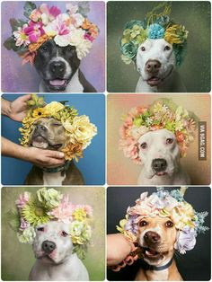 "Project ""Flower Power, Pit Bulls Of The Revolution"" by U.S based French Photographer Sophie Gamand."