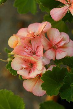 Jana's Geraniums 2