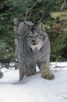 Lynx  by Bill Demchuk on 500px