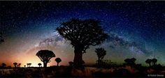"Panorama of the Quiver Tree Forest near Keetmanshoop, Namibia. Photo by Florian Breuer. / Namibian quiver trees and the glow of a galaxy. Article & crop by Phil Plait, October 28, 2012 | ""By eye, the Milky Way is easily visible on a dark night from a dark site. The diffuse glow of the distant stars is interrupted by the accumulated absorption by clouds of dust between them and us, splitting the glow along its middle."""