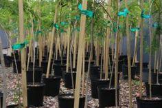 Nueva herramienta para árboles nativos | PUERTO RICO TE QUIERO