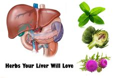 7 Herbs Your Liver Will Love The liver is one of the most important organs of our body, which is vital to overall health. In reality, it is dubbed as the chemical processing herb of the body, which is fundamental because of the fact that it is responsible for the performance of chemical responses in order to flush out toxins and to distribute essential nutrients.