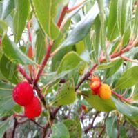 Κούμαρα τα «παρεξηγημένα» άγρια φρούτα του Φθινοπώρου
