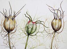 zaaddoos papaver botanical illustration - Google zoeken