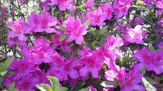 My azaleas
