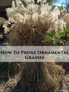 Ornamental Grasses Pruning Trimming ornamental grasses a bungee cord happiness bungee pruning ornamental grasses workwithnaturefo