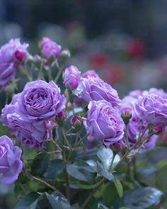 Purple Roses, Green Flowers, Pretty Flowers, Rustic Purple Wedding, Rosa Rose, David Austin Roses, Jesus Pictures, Flower Aesthetic, Beautiful Roses