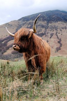 """Great hairy coo"" (to be said in a Scottish accent), Scottish Highland Cattle, so cute.  Can't wait to see one up and close!!!"