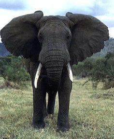 bull african elephant | African Elephant (Bull)