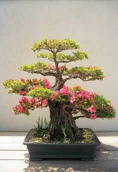 Satsuki Azalea Bonsai Tree - an excellent way to spice up your home decor. Bonsai trees are aimed at being full size replicas of a tree in nature, that can fit in your home ! Ikebana, Plantas Bonsai, Mini Plantas, Bonsai Garden, Bonsai Trees, Bougainvillea Bonsai, Miniature Trees, Arte Floral, Growing Tree