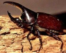 , Goliath Beetle, Beetles