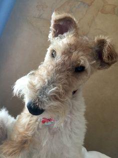 Stella (Wire Fox Terrier)