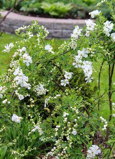 aivantoinen: puutarha. helmipensas