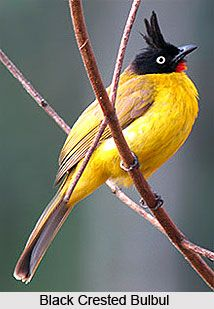 The Black Crested Bulbul belongs to the Bulbul family of Passerine birds. It resides in the tropical southern Asia from India and Sri-Lanka east to Indonesia.