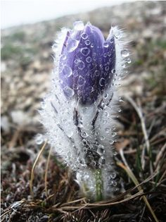 #CelticWheel | #Imbolc | Imbolc: Early Spring flower covered with ice. Photograph by Stanislav Kotik.