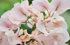 Blooming Bougainvilleas - perfect papery flowers with creeping vines! Learn more about these gorgeous plants with Lifestyle Home Garden What Is Homestead, Garden Site, Candy Brands, Winter Rose, Bougainvillea, Spring Is Here, How To Take Photos, Vines, Home And Garden