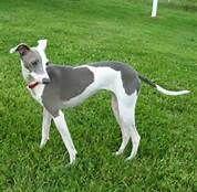 minature greyhound - Bing Images