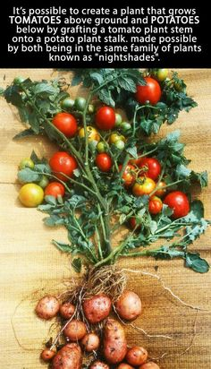 Grow tomatoes and potatoes in one plant.