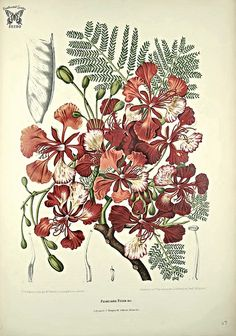 Royal Poinciana, Flame tree, Gulmohar. Delonix regia [as Poinciana regia] Fleurs, fruits et feuillages choisis de l'ille de Java -peints d'après nature par Berthe Hoola van Nooten (1880) | by Swallowtail Garden Seeds