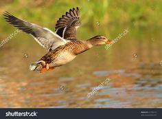 stock-photo-mallard-duck-in-flight-61750774.jpg (1500×1100)