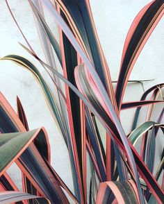 Trending: Indoor Plants with Pink Foliage. Add colour to your house plants! Cactus Plante, Belle Plante, Forever Green, Plant Aesthetic, Plant Painting, Colorful Plants, Foliage Plants, Plant Decor, Green Leaves