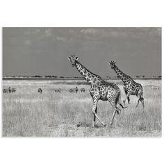 Metal Art Studio 'Giraffe and Zebra' by Mathilde Guillemot Photographic Print Zebra Art, Art Base, African Animals, Artist Canvas, Metal Art, Canvas Art Prints, Brown And Grey, Black White, Fine Art