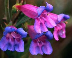 Rocky Mountain Penstemon   Rocky Mountain Penstemon strictus 200 seeds vibrant by SmartSeeds, $1 ...