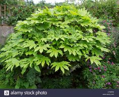 "Fatsia japonica is the most distinctive of all evergreens with large, lobed palmate leaves (16"") Grown in mass plantings on larger sites or as a specimen in smaller gardens. Grow with ferns, hostas, and Rhododendrons. Drumstick-like flowers are otherworldly in appearance but add to the distinctiveness of this shrub."