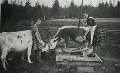 Finnish cows 1944
