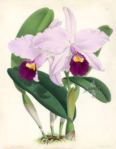 Warner Orchid Album Prints 1882