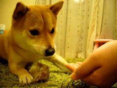 ▶ 優しい柴犬 - YouTube