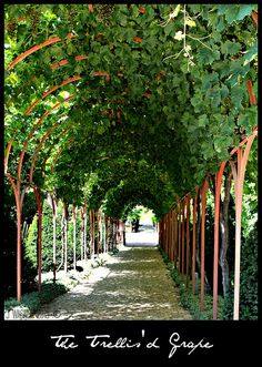 trellising grapes at home   Recent Photos The Commons Getty Collection Galleries World Map App ...