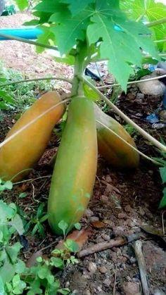 gandul or kathes or pepaya