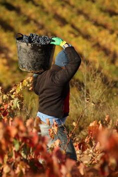 Vendimia en la Rioja  Spain...harvest in Rioaj