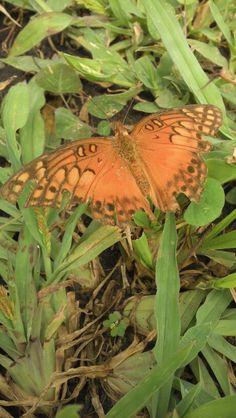 Mariposa en el zacate