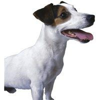 Jack Russell Terriers require a long-term commitment, if they are to be trained correctly.