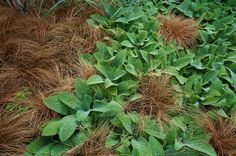 Carex 'Toffee Twist', Stachys
