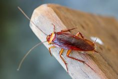 How To Get Rid of Cockroaches in Melbourne? To be successful in cockroach control, Contact a VIP Pest Control Professional Today. Best Pest Control, Pest Control Services, Wd 40 Spray, Lifehacks, Keep Mice Away, Get Rid Of Wasps, Cockroach Control, Roaches, Brighton