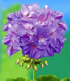 Geranium 'PAC® Blue Wonder'
