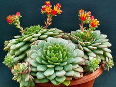 Echeveria globulosa | World of Succulents