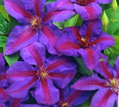 Clematis Mrs N Thompson is offered in a full gallon size with free shipping!It grows large violet to blue-purple flowers with a deep red bar. Red to purpleant