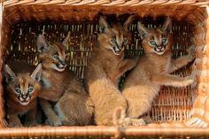 Caracal Kittens!!!