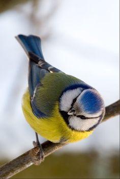 Картинки по запросу дальневосточные птицы зимующие